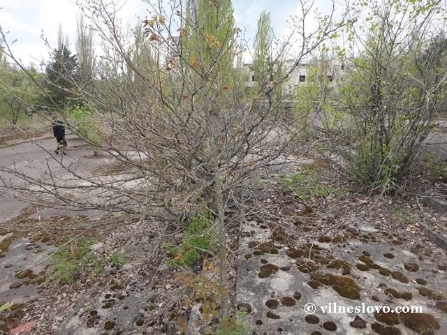 Шипшина - колишні троянди у Прип'яті