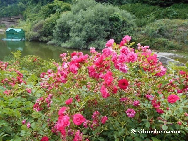 Дикі троянди над озером