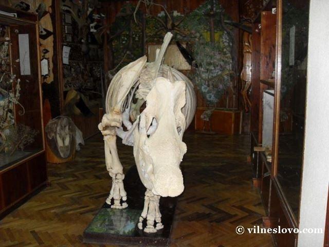 Скелет носорога