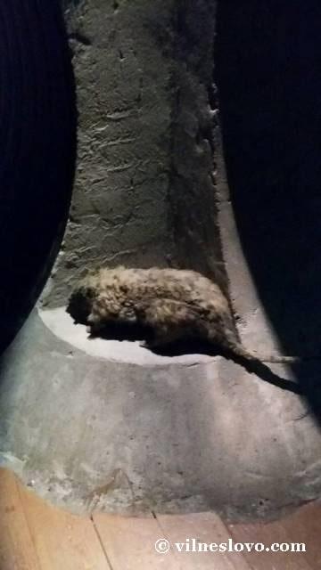 Пацюк у каналізації