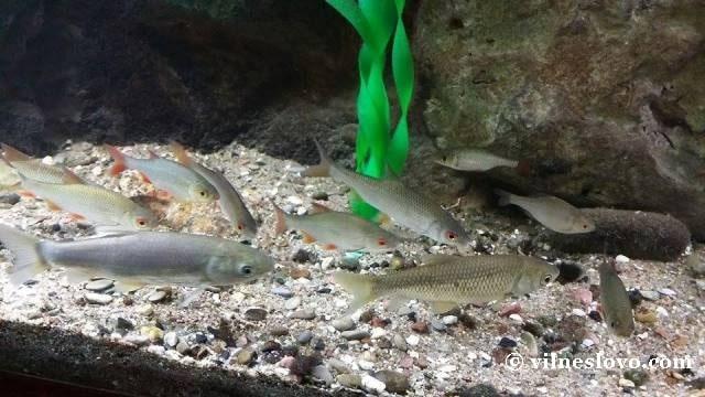 Риби річки Дніпро