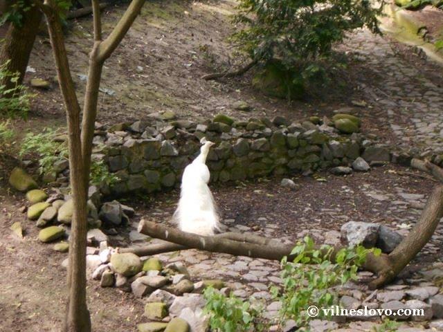 Білий павлін Київський зоопарк