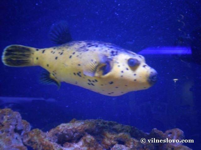 Київський океанаріум риба фуґу