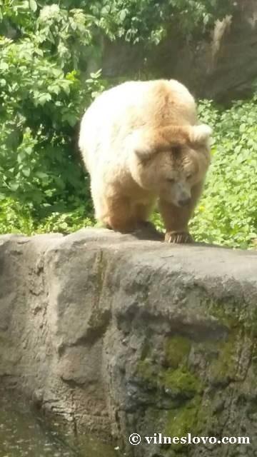 Тянь-шанський ведмідь