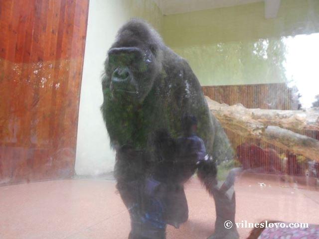 Горила Київський зоопарк