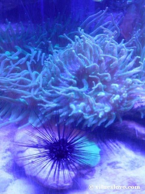 Корал актінія