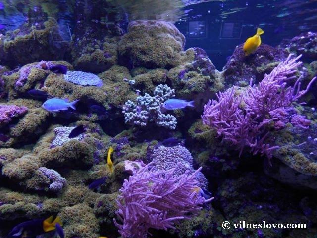 Корал горгонарія