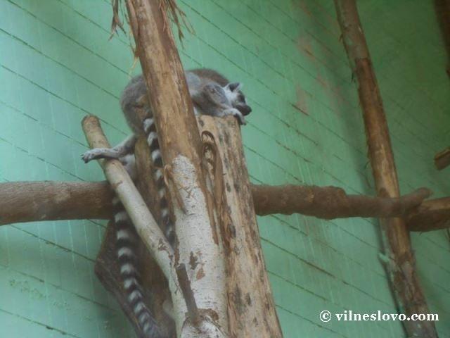Лемури Київський зоопарк