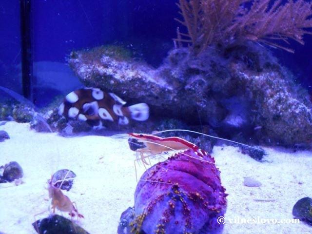 Київський океанаріум морські креветки