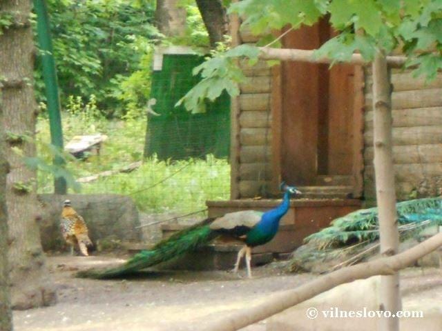 Павлін у Київському зоопарку