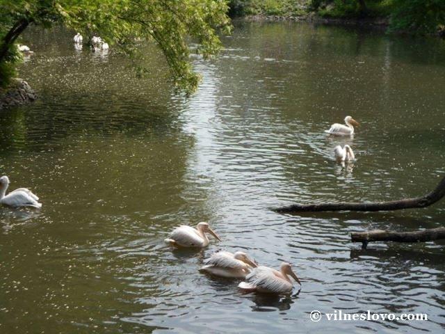 Пелікани Київський зоопарк
