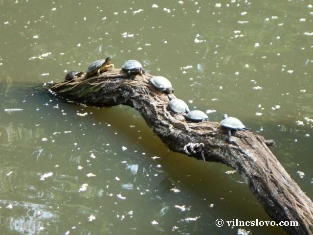 Прісноводні черепахи