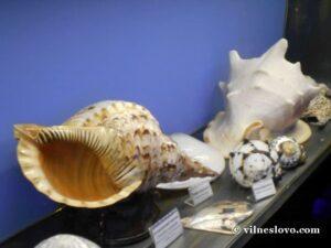 Рапани раковини молюсків