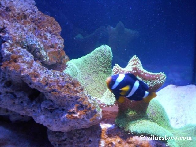 Київський океанаріум риба-клоун