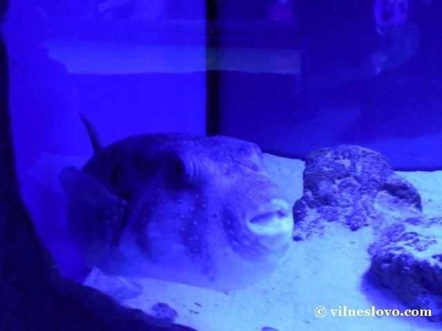 Риба-собака