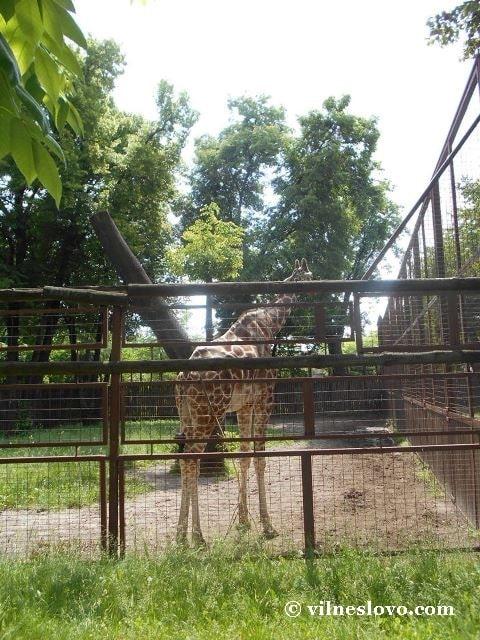 Жирафа Київський зоопарк