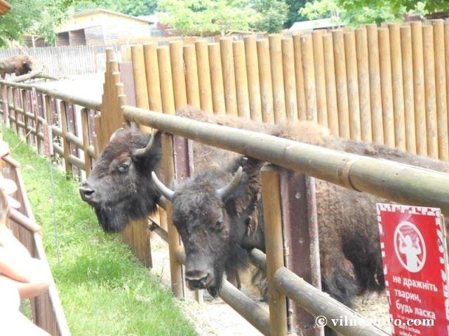 Зубри Київський зоопарк
